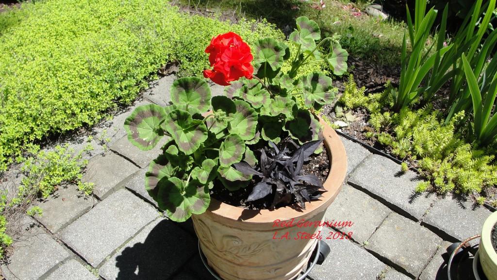 red geranium 4 2018