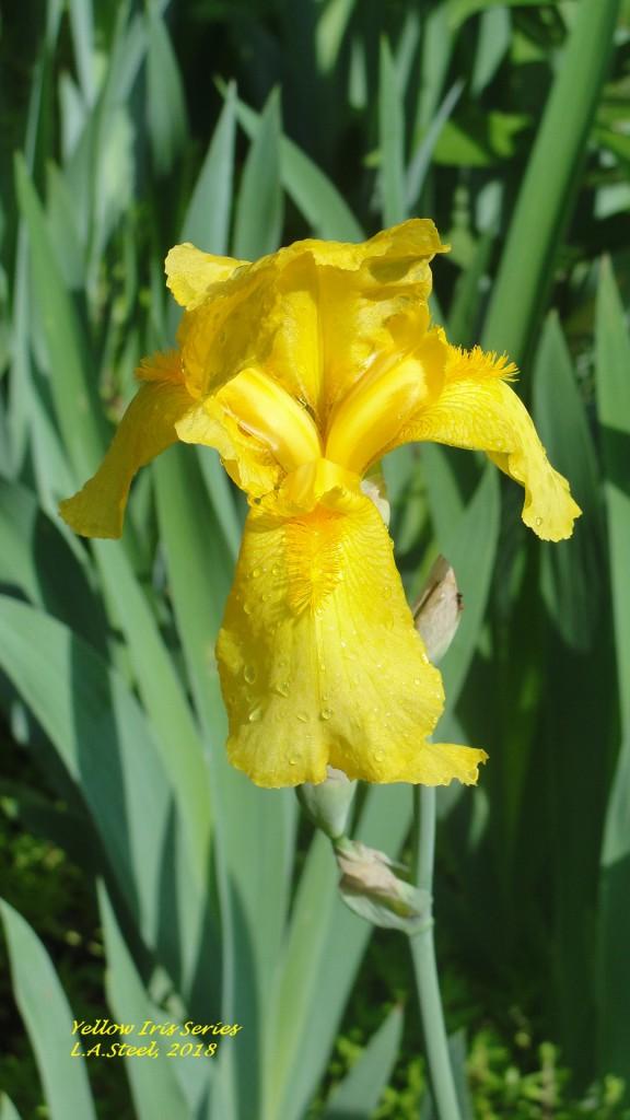 yellow iris series 2 2018