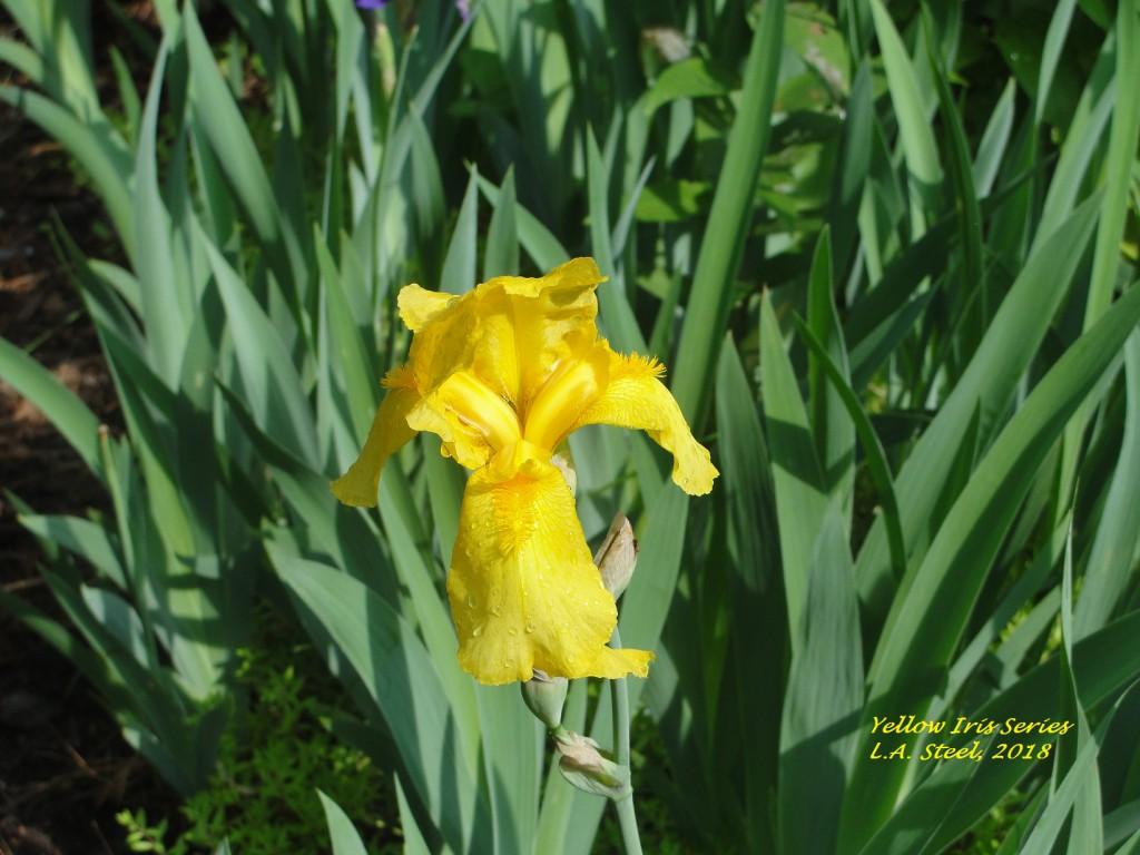 yellow iris series 3 2018