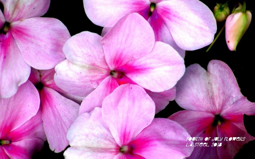 fourth of july flowers 2018 25 DSC07364