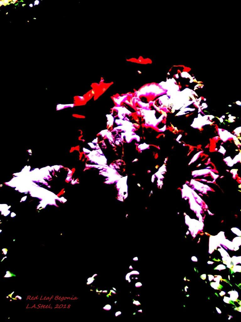 red leaf begonia 2 2018