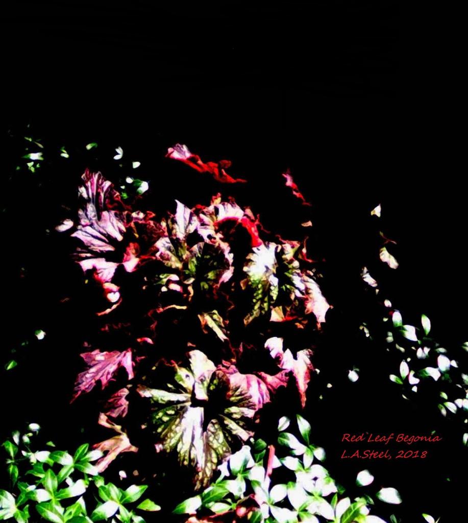 red leaf begonia 2018