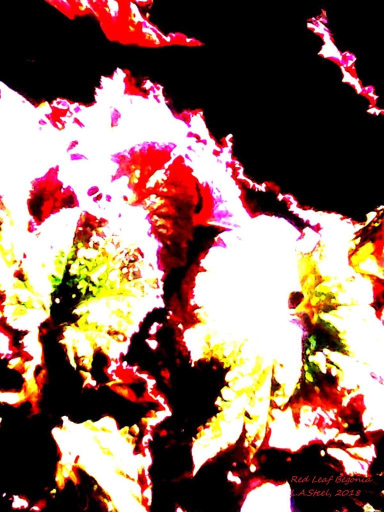 red leaf begonia 4 2018