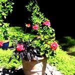 terrace geraniums 2018