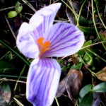 purple striped crocus 2019