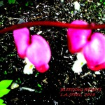 BLEEDING HEARTS 1 2019