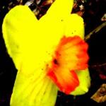 mega yellow daffodil 2