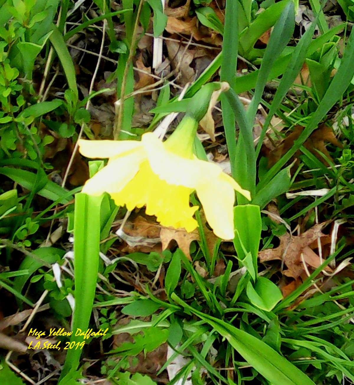 mega yellow daffodil 6