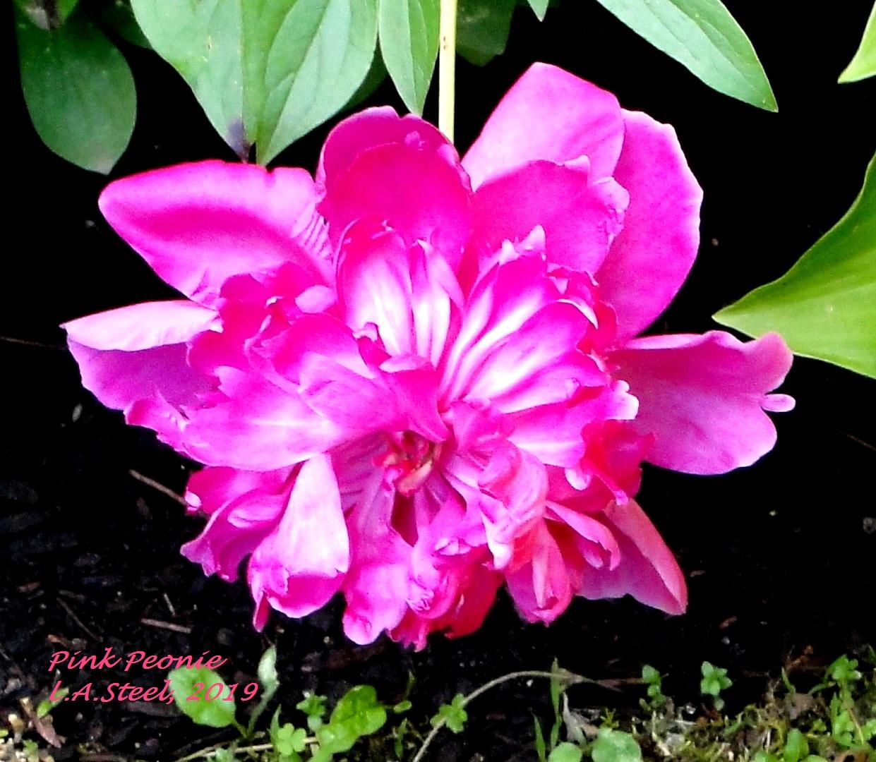 pink peonie 2019