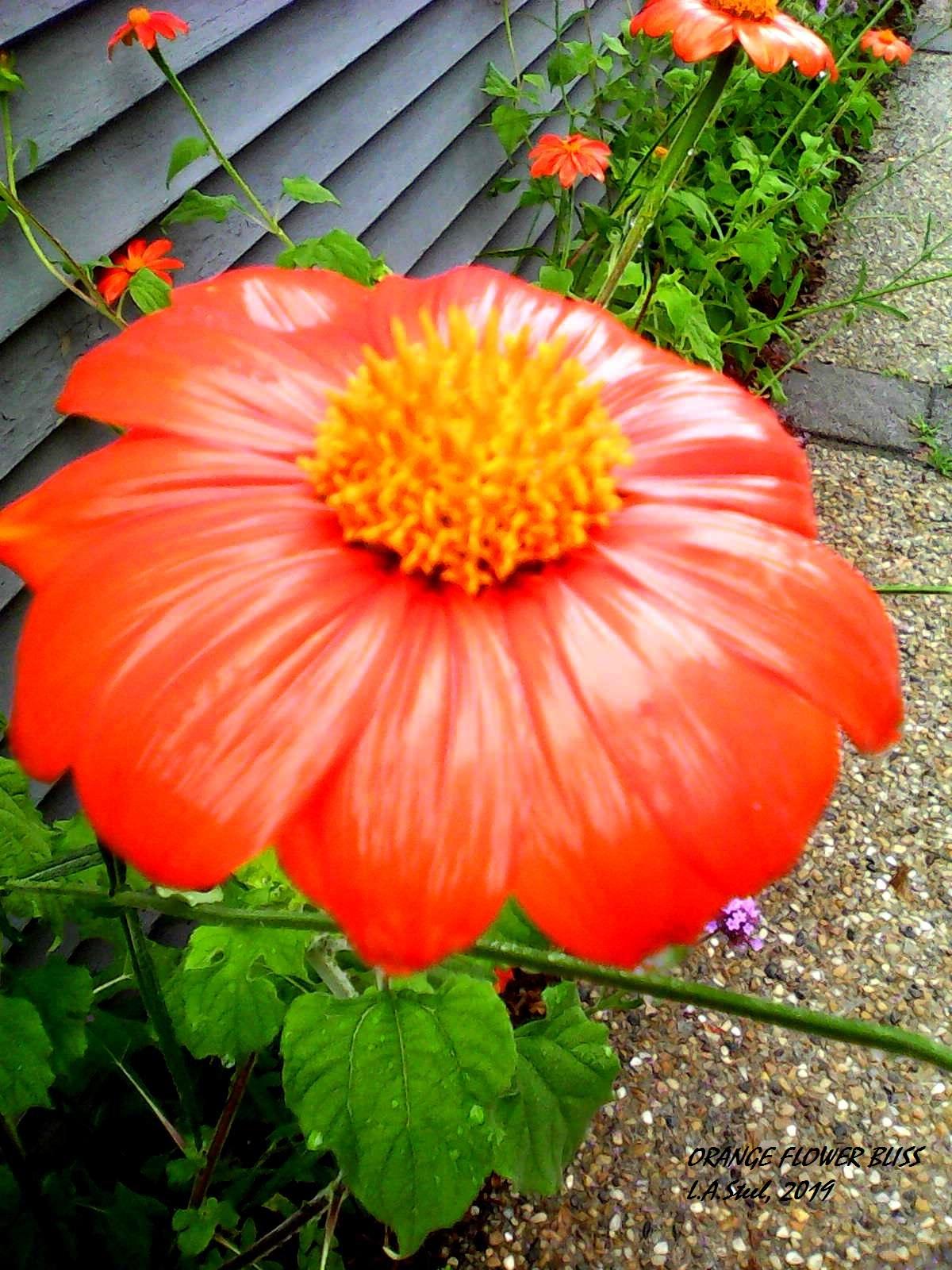 orange flower bliss 2019