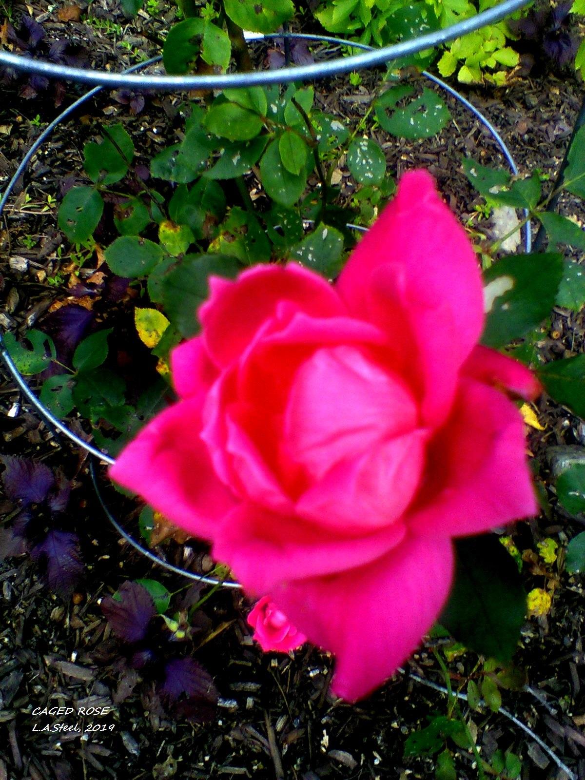 caged rose 1 2019