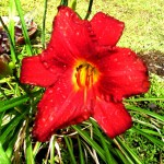 red day lily 1 2019