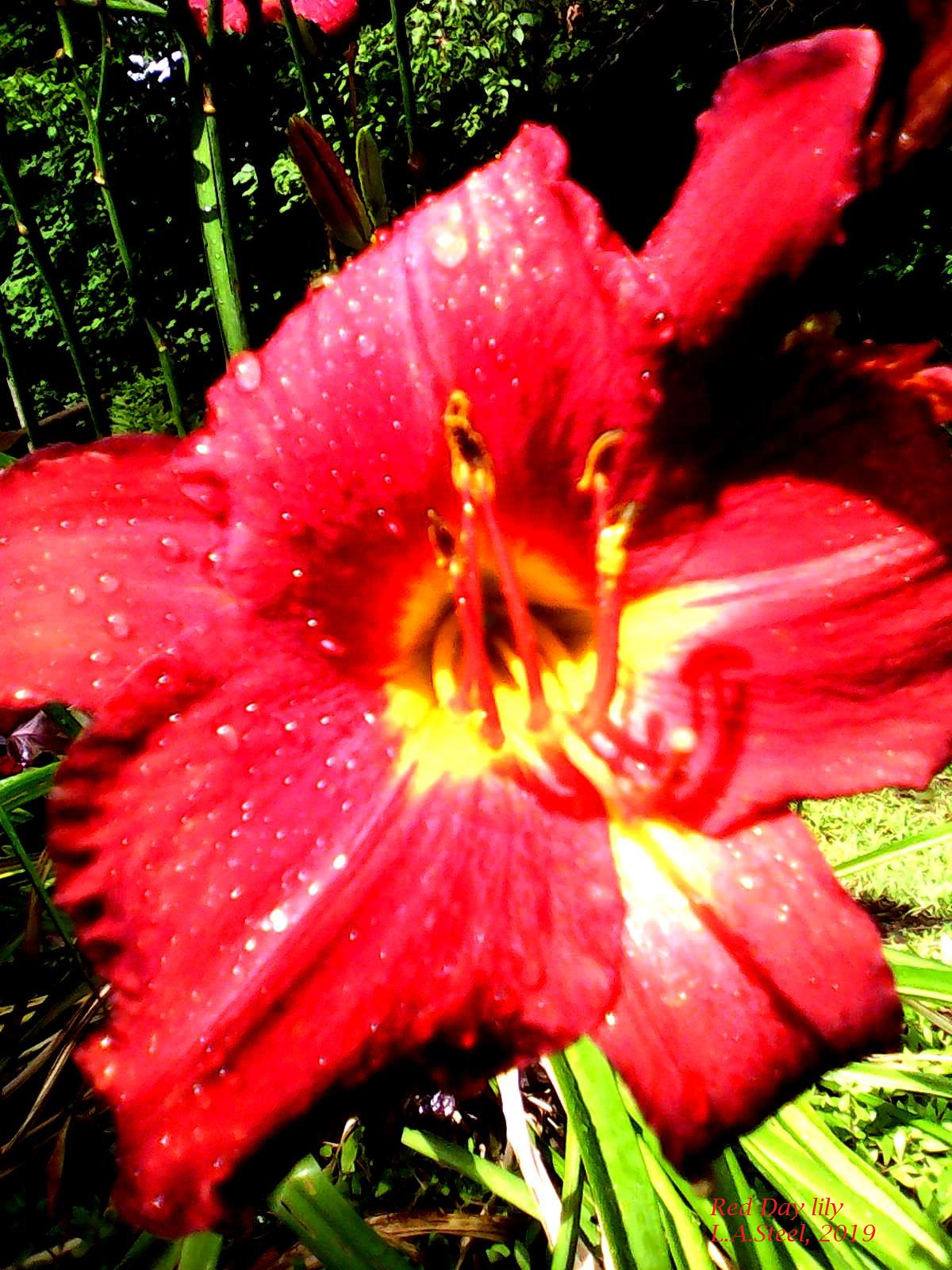 red day lily 3 2019