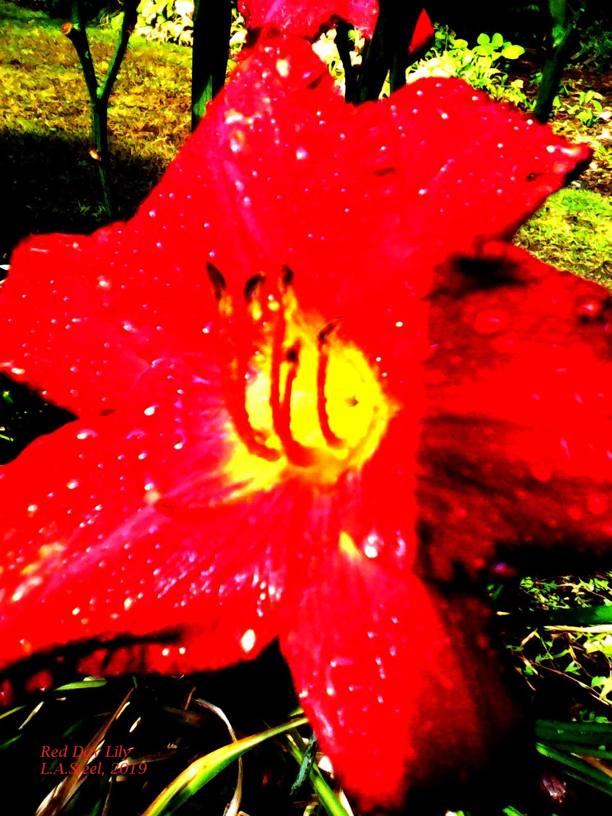 red day lily 4 2019