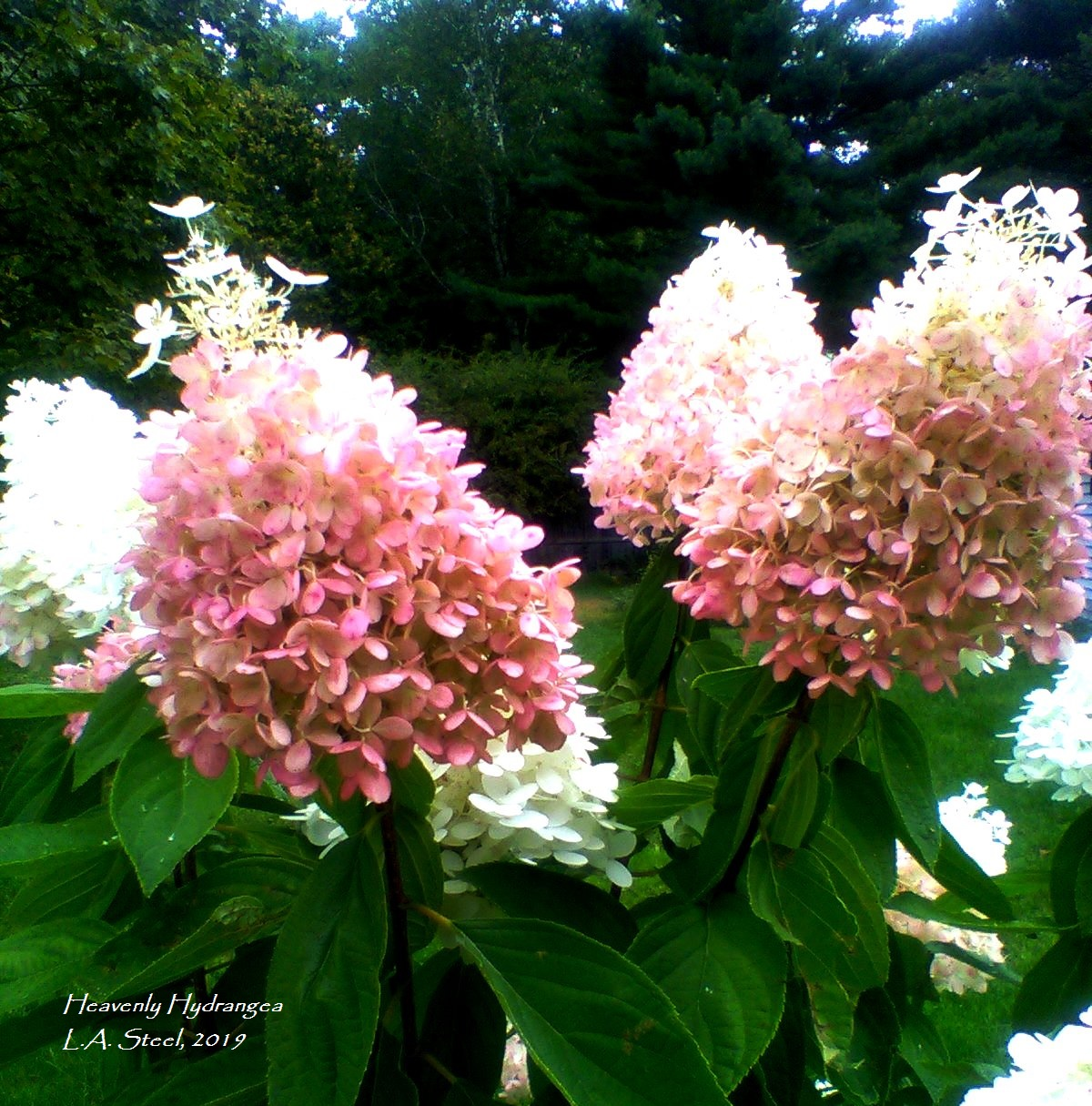 heavenly hydrangea 14 2019