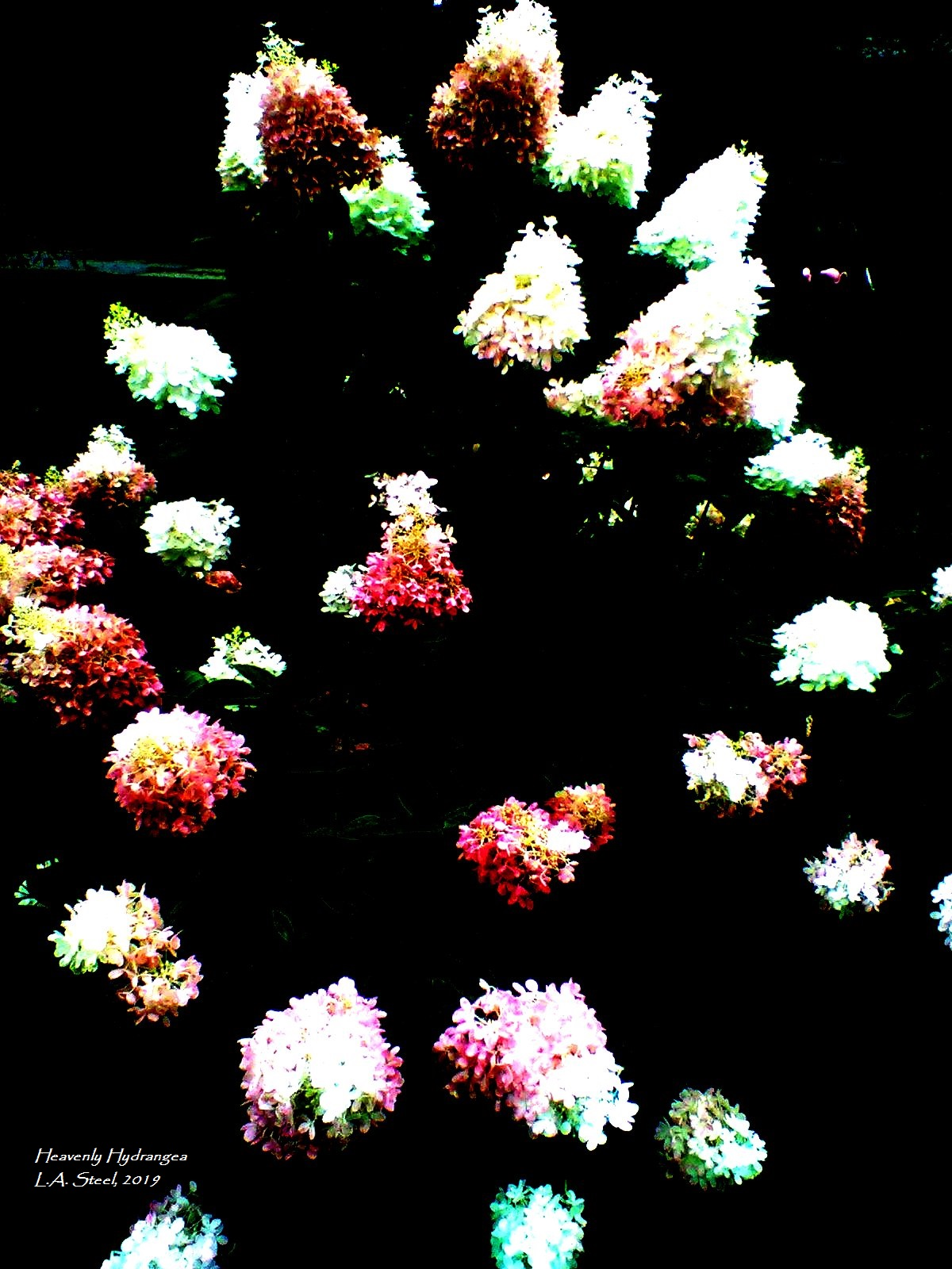 heavenly hydrangea 15 2019