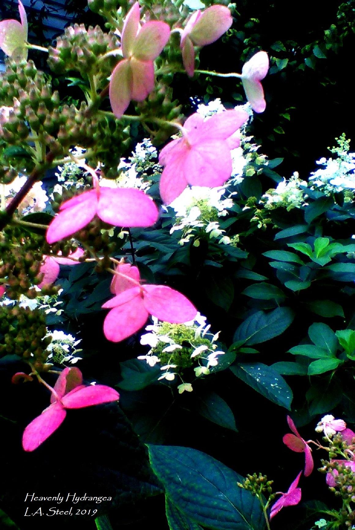 heavenly hydrangea 5 2019