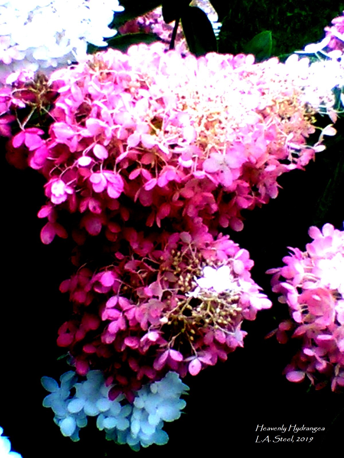 heavenly hydrangea 9 2019