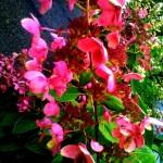 pink hydrangea 1 2019
