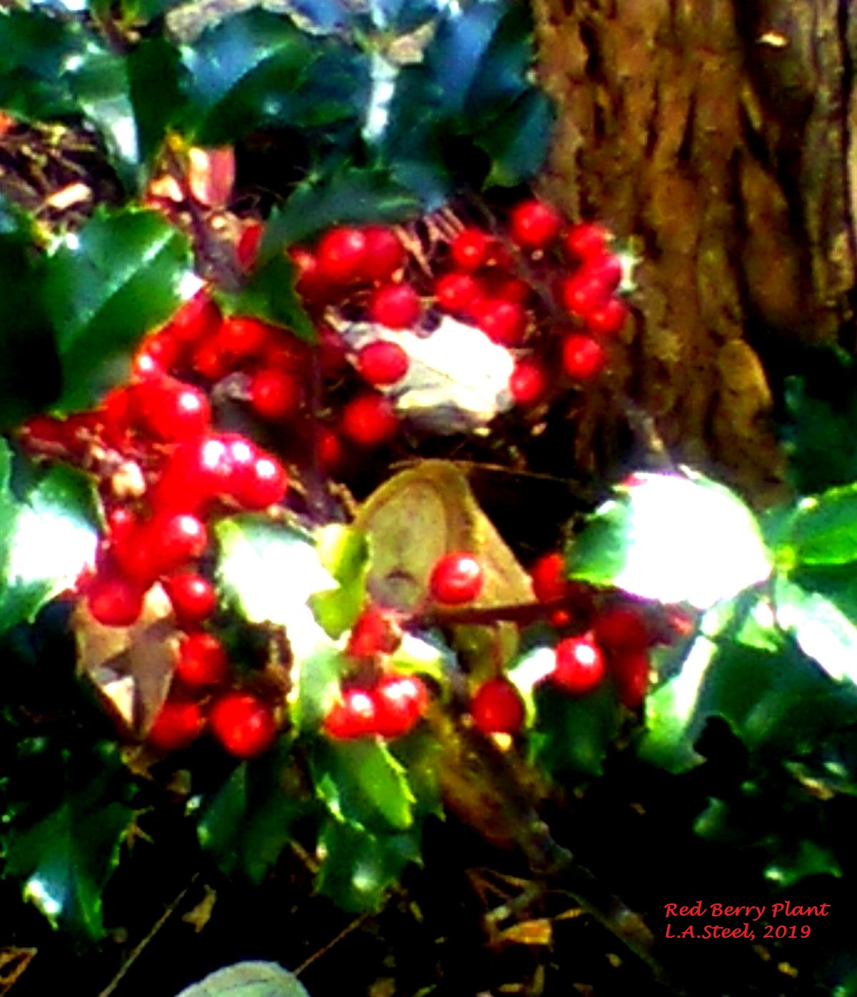 red berry plant 2019
