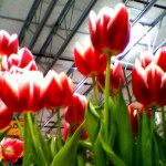 flower shop tulips 8 2020
