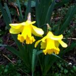 yellow daffodil series 2020