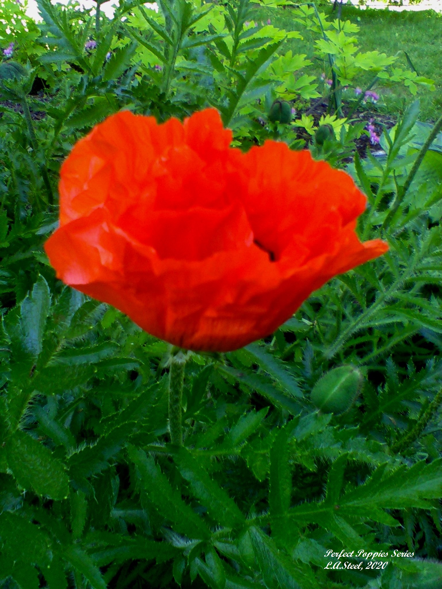 perfect poppies series 3 2020