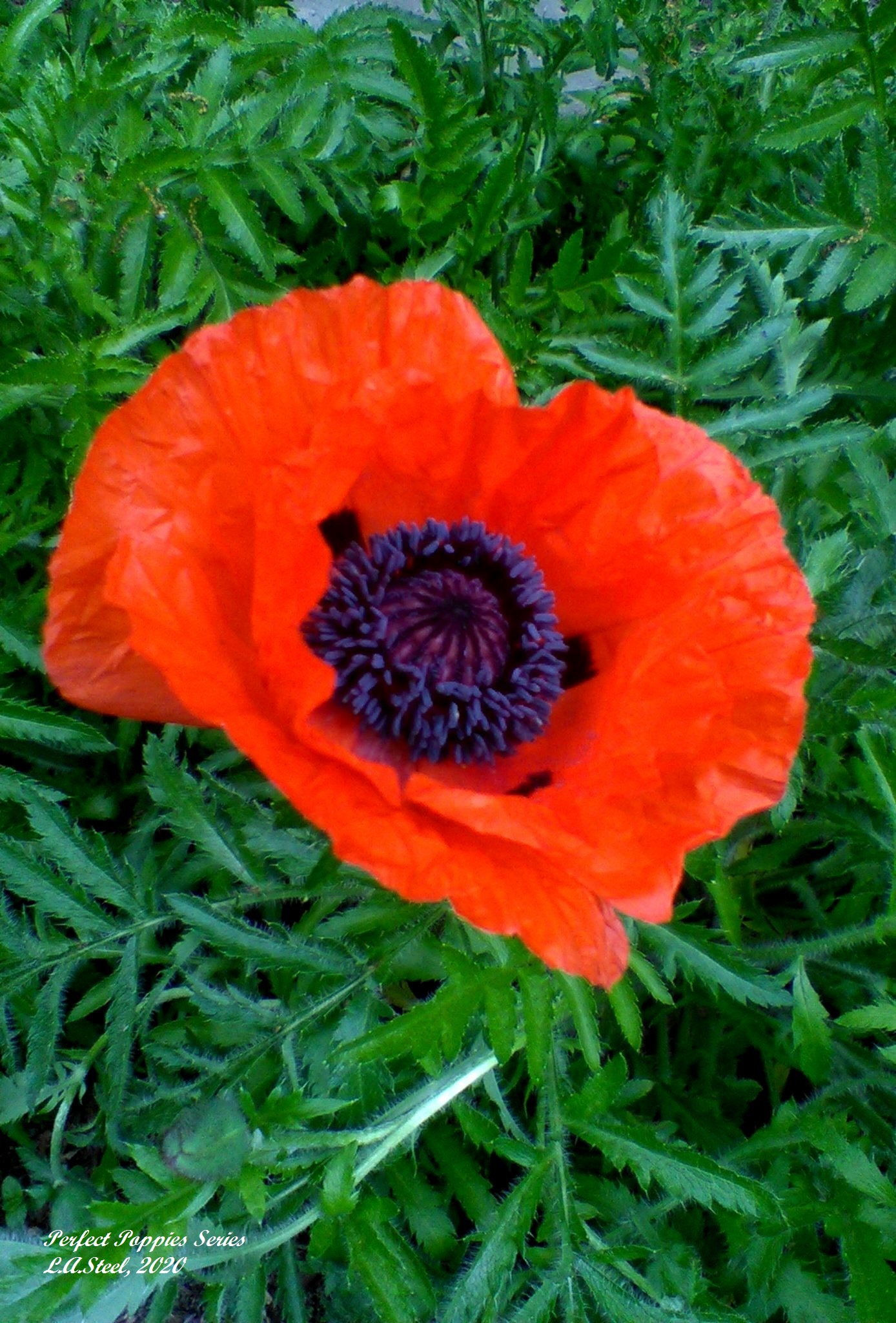perfect poppies series 4 2020