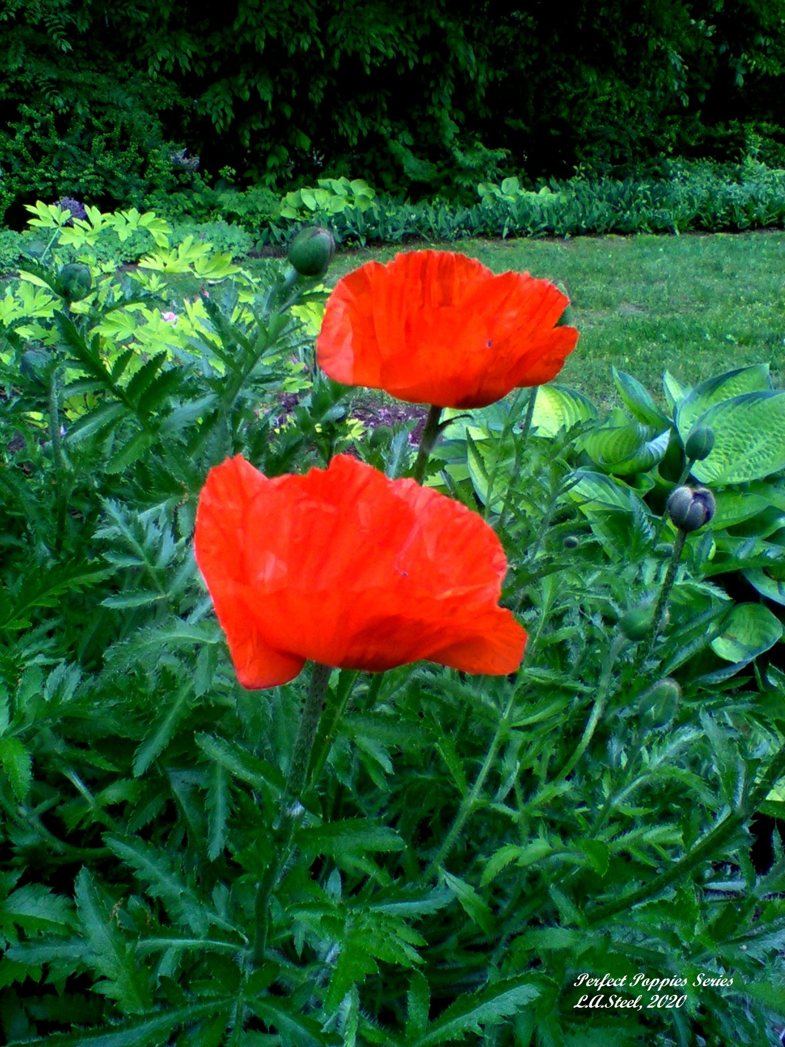 perfect poppies series 5 2020