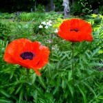 perfect poppies series 7 2020