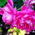 rose series 7 2020