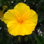 yellow hibiscus 2020