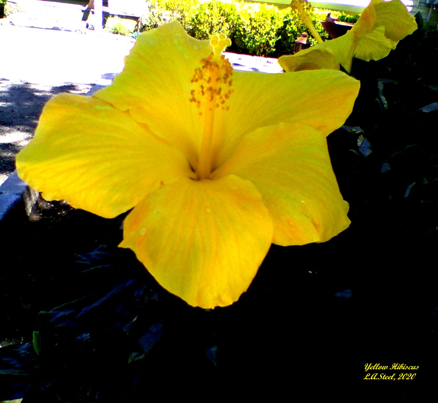 yellow hibiscus 4 2020