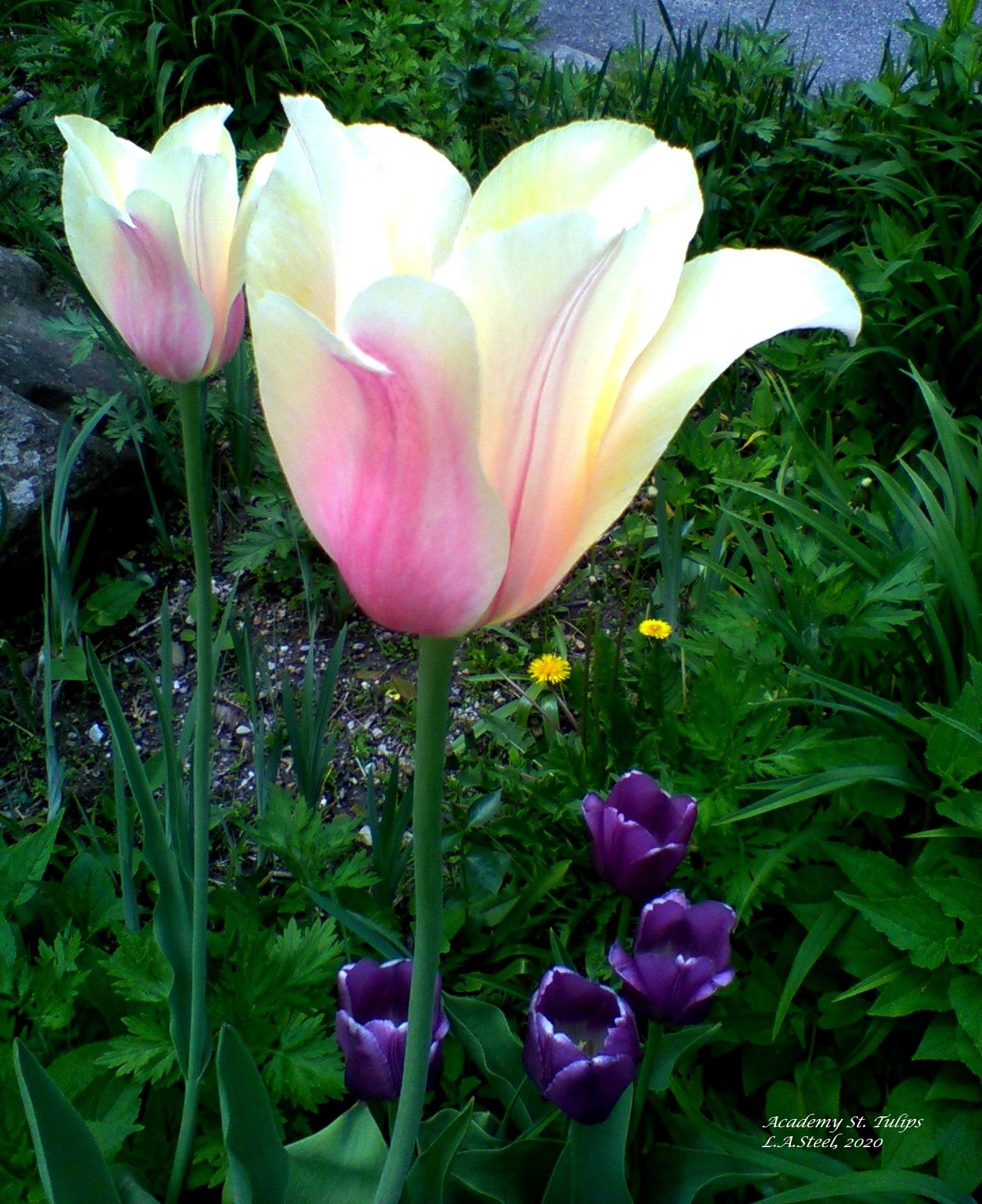 acadamy street tulips 2020