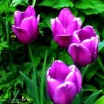 acadamy street tulips 4 2020